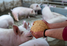 Farmer Holding Dry Food For Pigs In Hands
