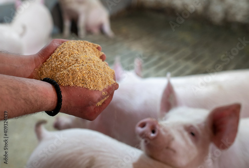 Stampa su Tela Farmer holding dry food for pigs in hands