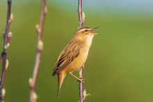 Sedge Warbler Bird, Acrocephalus Schoenobaenus, Singing