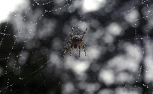 A Large Poisonous Spider Is Waiting For The Victim On The Web, There Are Many Raindrops Around