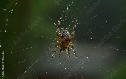 Stampa su Tela a large brown spider on a web in dewdrops, waiting for its prey