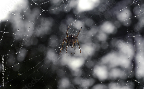 Tablou Canvas A large poisonous spider is waiting for the victim on the web, there are many ra
