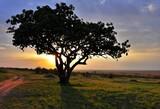 Fototapeta Sawanna - Kigelia afrykańska (Kigelia africana) zwana również  drzewem kiełbasianym. W tle zachód słońca, z boku widoczna droga (rezerwat Masai Mara, Kenia)