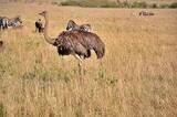 Fototapeta Sawanna - Struś masajski (S. c. massaicus) - samica. Rezerwat Masai Mara, Kenia