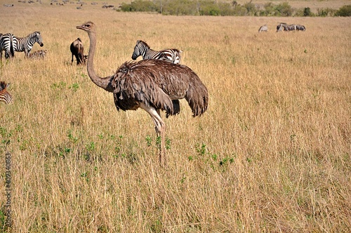 Struś masajski (S. c. massaicus) - samica. Rezerwat Masai Mara, Kenia