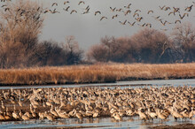 Sandhill Cranes (Grus Canadensis) Roosting In Platte River During The Spring Migration;  Near Kearney, Nebraska