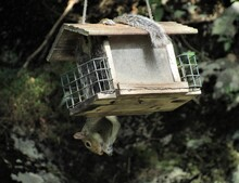 A Squirrel Hanging Upside Down On A Wooden Bird Feeder Eating Seeds On A Sunny Day In The Forest