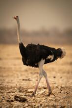 Male Common Ostrich Walks Across Rocky Pan