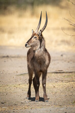 Male Common Waterbuck Stands Chewing Grass Stalk
