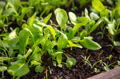 Obraz Small sprouts of arugula in the ground - fototapety do salonu