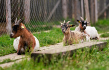 Brown White American Pygmy Goat Resting On Wooden Footpath, Looks Like Smiling, More Blurred Animals Near