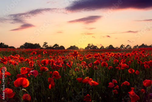 Fototapeta Stunning summer orange evening sunset over countryside poppy flower field full with hundreds of wild bright vibrant natural red poppies glowing in beautiful sunshine rays obraz na płótnie