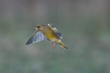 Close Up View Of A Greenfinch In Flight
