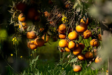 Orange Trees Are Widely Grown In Tropical And Subtropical Climates For Their Sweet Fruit.