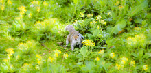 Eastern Fox Squirrel (Sciurus Niger) On The Meadow Blossoming With Wild Yellow Flowers. Portrait. Blurred Grass.