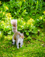 Squirrel (Sciurus Niger) At Meadow With Blossoming  Wild Yellow Flowers. Portrait.