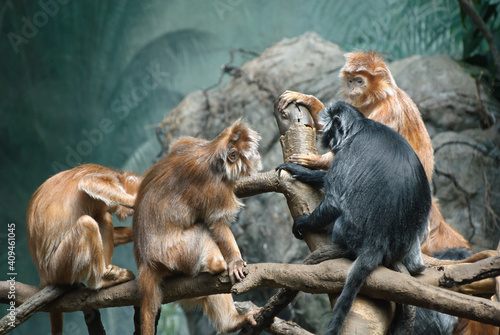 Canvas Print Monkies grooming themselves