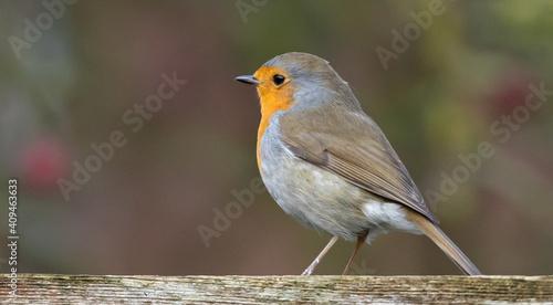 Fotografie, Obraz Selective focus shot of a robin natu