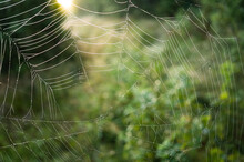 Spiderweb With Light Green Bokeh Background. Cobweb With Glue Droplets.
