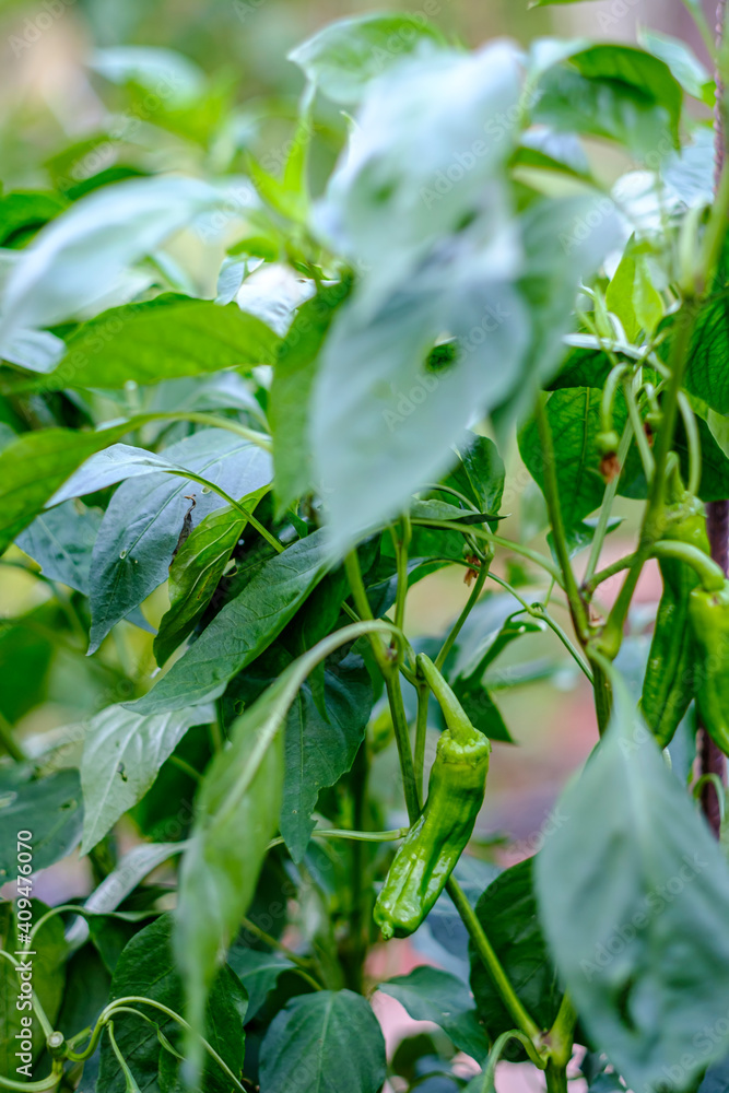 Fototapeta Vegetable garden with Capsicum annuum, commonly bell pepper, chili, the best-known, widespread and cultivated species of the Capsicum genus, of the Solanaceae family.
