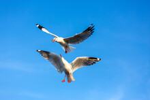 Two Seagulls Vying For Food