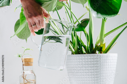 Fotografie, Obraz Hand with a full glass jug watering beautiful healthy monstera in a pot on the floor