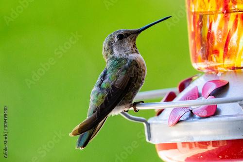 Fotomural hummingbird in flight