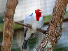 Paroaria, The Red-headed Cardinals Or Cardinal-tanagers (as They Are Not Close To The Cardinalidae), Are A Genus Of Tanagers. They Were Until Recently Placed In The Family Emberizidae.
