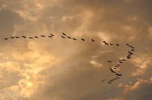 Sandhill Cranes (Grus Canadensis) Migrating North During The Spring;  Near Kearney, Nebraska