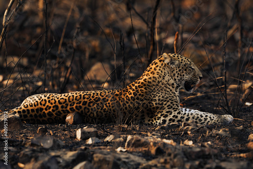 Canvastavla the leopard in golden light