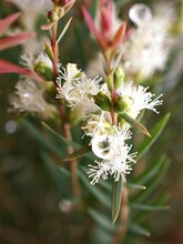 Pine Leaves Melaleuca Alternifolia ,white Flowers ,tea Tree, Herb Plant With Soft Focus In Garden Sweet Pink Blurred Background