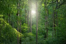 Panoramic View Of The Dark Mysterious Beech Forest. Mighty Trees. Sunlight Through The Tree Trunks, Green Leaves. Summer Landscape. Rhineland, Germany. Nature, Ecology, Environmental Conservation