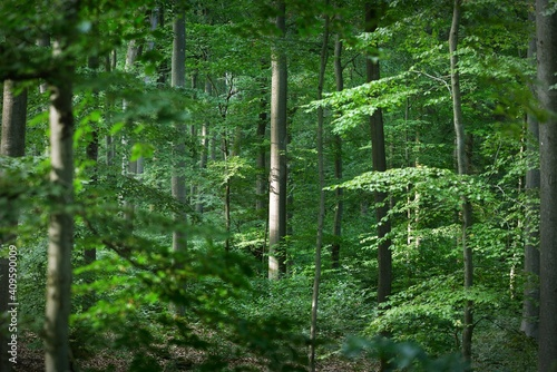 Canvastavla Panoramic view of the dark mysterious beech forest
