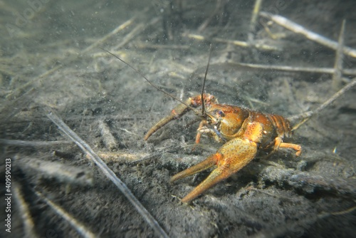 Foto Noble crayfish Astacus astacus in a lake (natural habitat), close-up underwater shot