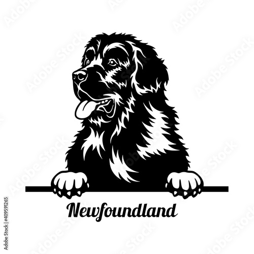 Newfoundland Peeking Dog - head isolated on white Fototapeta