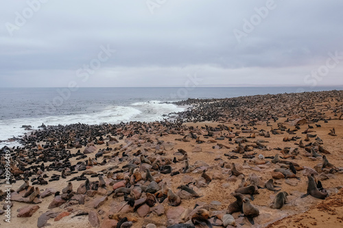Fototapeta sea lion colony