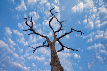 A Dead Tree Is Silhouetted Against A Blue Sky In The Zambezi River Valley Of Zimbabwe.