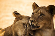 canvas print picture Closeup shot of a lion and lioness