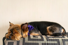 Yorkshire Terrier Resting In A Bed, Sleeping Little Black Dog Lying In A Bedroom. Selective Focus, Copy Space.