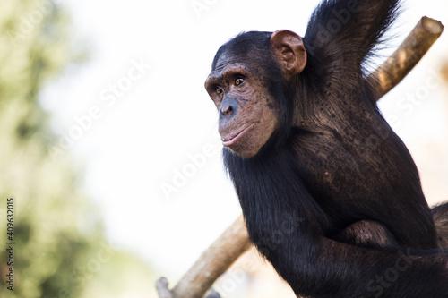 Fotografia Selective focus shot of a Chimpanzee
