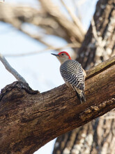 Shallow Focus Of Red-bellied Woodpecker (Melanerpes Carolinus) On The Tree Branch