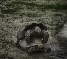 Closeup Shot Of Two Mating Turtles In A Park