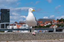 Large White And Gray Seagull Standing On Stone At Harbor Front With Building In The Background