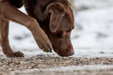 Chocolate Labrador Retriever Dog Sniffing On The Ground