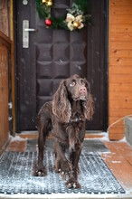 German Spaniel Dog Bred Standing Near Christmas Decorated Door Outdoor