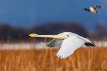 White Swan Flying