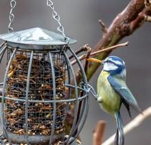 Bluetit Feeding