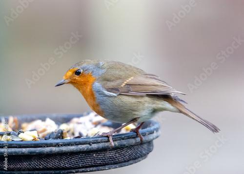 Fototapeta robin feeding