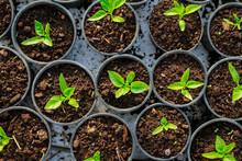 Pepper Seedlings In Plastic Pots. Growing Seedlings In Early Spring In The Greenhouse.