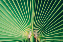 Palm Tree Leaf In Close Up